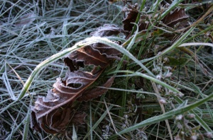 Photo - Frosty Leaves